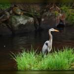 Auburn NH and a Blue Heron